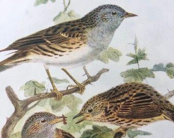 1907 Hedge Sparrow Original Antique Lithograph - Ornithology - Bird Art - Birds -  Wall Decor - Home Decor - Wall Art - Wildlife
