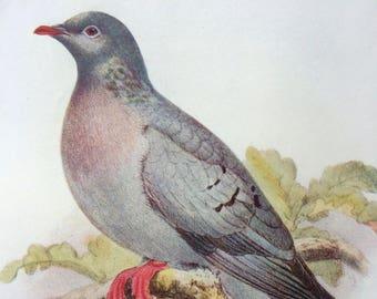 1907 Stock Dove Original Antique Lithograph - Ornithology - British Birds - Decorative Print - Wildlife Decor - Available Matted