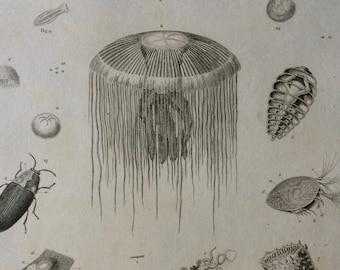 1819 Luminous Animals Original Antique Engraving - Available Mounted and Matted - Marine Wildlife - Ocean Decor - Aquatic Animals - Framed