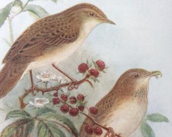 1907 Grasshopper Warbler Original Antique Lithograph - Ornithology - Bird Art - Birds -  Wall Decor - Home Decor - Wall Art - Wildlife