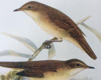 1907 Reed Warbler & Marsh Warbler Original Antique Lithograph - Ornithology - British Birds - Decorative Print - Available Matted