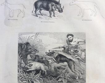 1856 Large Original Antique Engraving - Abyssinian Phacoechoere, Warthog, Boar-Hunt, Horse Skeleton - Wildlife Wall Decor