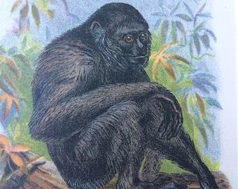1896 Siamang Gibbon Original Antique Chromolithograph - Monkey - Zoology - Natural History - Wildlife Decor - Available Framed