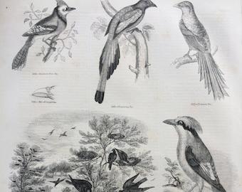 1856 Large Original Antique Bird Engraving - American Blue-Jay, Wandering Pie, A Rookery, Benteot, Philippine Crow- Ornithology - Wall Decor