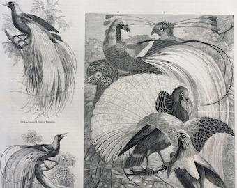 1856 Large Original Antique Bird Engraving - Magnificent Bird of Paradise, Golden & Emerald Birds of Paradise - Ornithology - Wall Decor