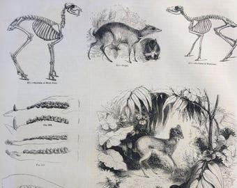 1856 Large Original Antique Engraving - Musk Deer Skeleton, Fallow Deer, Spotted Chevrotain, Mouse-Deer - Wildlife Wall Decor