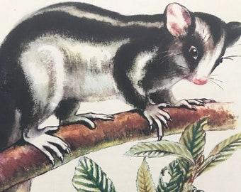 1956 Striped Possum Original Vintage Illustration - Australia - Wildlife Decor - Mounted and Matted - Available Framed