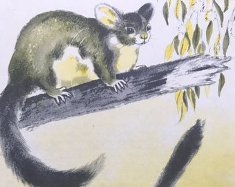 1956 Yellow-Bellied Glider Original Vintage Illustration - Australia - Wildlife Decor - Mounted and Matted - Available Framed