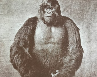 1930s Taxidermy Male Gorilla Original Vintage Print - Museum Exhibit - Mounted and Matted - Available Framed