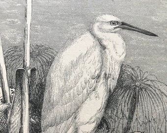1896 Lesser Egret Original Antique Print - Natural History - Bird Art - Ornithology - Mounted and Matted - Available Framed