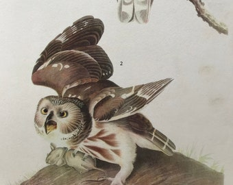 1937 The Saw-Whet Owl Original Vintage Audubon Print - Mounted and Matted - Available Framed - Bird Art - Ornithology