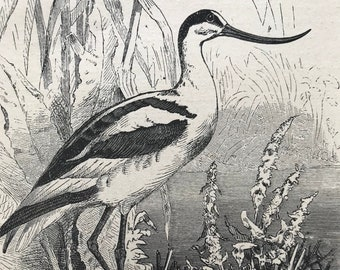 1896 Avocet Original Antique Print - Natural History - Bird Art - Ornithology - Mounted and Matted - Available Framed