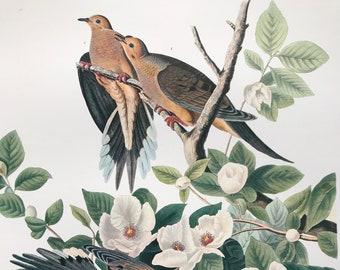 Carolina Pigeon or Turtle Dove Large Original Vintage 1964 Audubon Print, 14 x 17 inches, Bird Decor, Vintage Decor, Ornithology