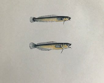 1877 Mackerel Midge and Thompson's Midge Original Antique Print - Fish - Fishing - Marine Decor - Mounted and Matted - Available Framed