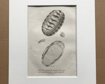 1809 Chiton Squamosus Original Antique Engraving - Marine Wildlife - Ocean Decor - Available Matted and Framed