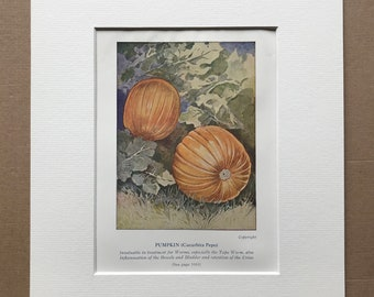 1927 Pumpkin - Medicinal Uses Original Vintage Print - Mounted and Matted - Medical Health - Nutrition - Herbalism - Available Framed