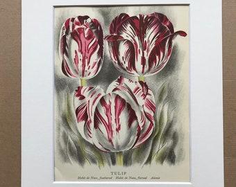 1939 Tulip Original Vintage Print - Mounted and Matted - Botanical Illustration - Flower Art - Retro Decor - Available Framed