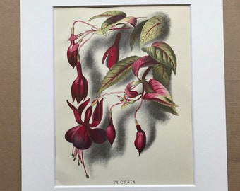 1939 Fuchsia Original Vintage Print - Mounted and Matted - Botanical Illustration - Flower Art - Retro Decor - Available Framed