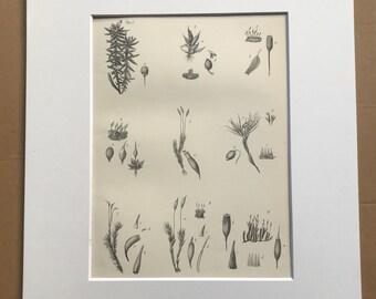 1891 Mosses Original Antique Print - Botanical Decor - Botany - Moss - Available Framed