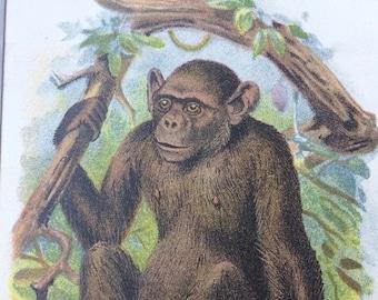 1896 Bald Chimpanzee Original Antique Chromolithograph - Monkey - Mammal - Zoology - Natural History - Wildlife Decor - Decorative Print