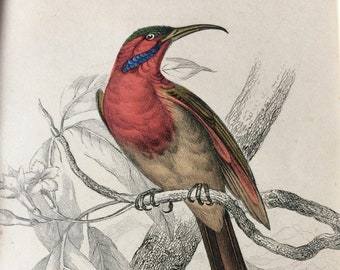 1843 Original Antique Hand Coloured Engraving - Jardine - Natural History Sunbird Nectarinia Goalpariensis - Passerine - Bird - Ornithology