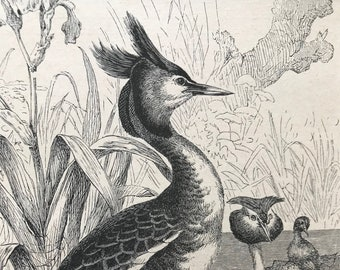 1896 Crested Grebe Original Antique Print - Natural History - Bird Art - Ornithology - Mounted and Matted - Available Framed