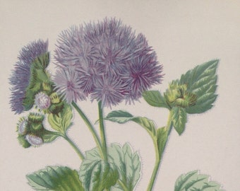1879 AGERATUM Original Antique Botanical Lithograph - Botany - Flower - Wall Decor  - Home Decor - Matted & Ready to Frame