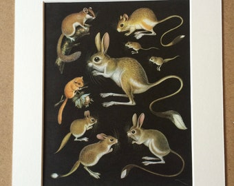 1968 Original Vintage Print - Mounted and Matted - Dormouse & Jerboa Varieties  - Available Framed