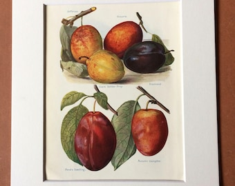 1924 Plum Varieties Original Vintage Fruit Print - Country Kitchen Decor - Culinary Gift - Mounted and Matted - Available Framed