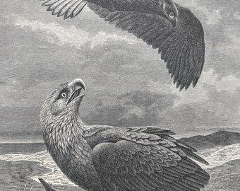 1893 White-Tailed Sea Eagles Original Antique Print - Ornithology - Bird Art - Mounted and Matted - Available Framed