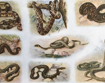 1924 Snakes Original Antique Lithograph - Mounted and Matted - Boa Constrictor, Python, Viper, Rattlesnake, Cobra - Available Framed