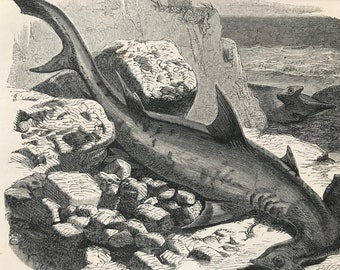 1863 Hammer-Headed Shark Original Antique Print - Fish Illustration - Marine Decor - Mounted and Matted - Available Framed