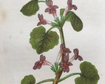1852 Original Antique Hand-Coloured Anne Pratt Botanical Illustration - Ground Ivy - Botany - Garden - Available Framed