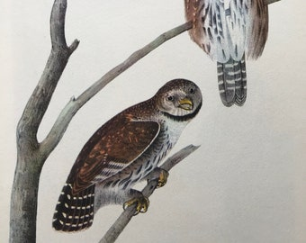 1937 Pygmy Owl Original Vintage Audubon Print - Mounted and Matted - Available Framed - Bird Art - Ornithology