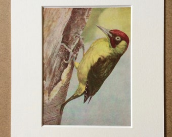 1940s Green Woodpecker Original Vintage Print - Mounted and Matted - Ornithology - Framed Vintage Bird Art