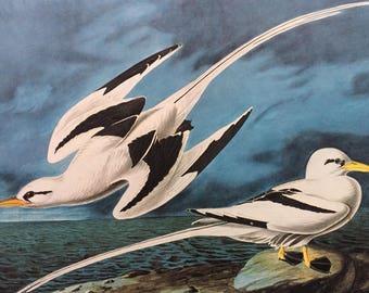1966 White-Tailed Tropic Bird Original Large Vintage Audubon Print, 20 x 13 inches, Bird Decor, Vintage Decor, Ornithology