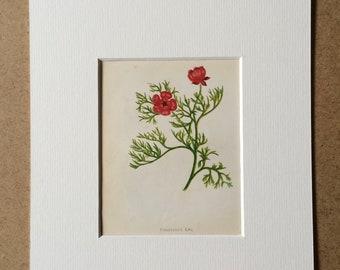 1852 Original Antique Hand-Coloured Anne Pratt Botanical Illustration - Pheasant's Eye - Flower - Botany - Garden - Available Framed