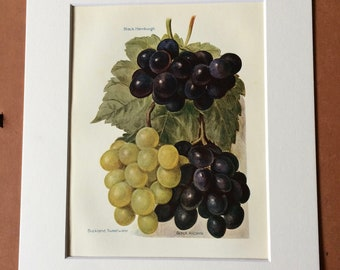 1924 Grape Varieties Original Vintage Fruit Print - Country Kitchen Decor - Wine - Culinary Gift - Mounted and Matted - Available Framed