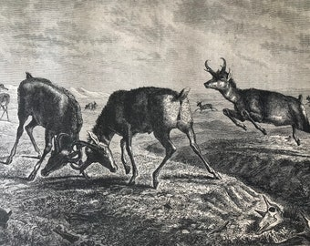 1896 Pronghorn Antelope Original Antique Print - Natural History - Animal Art - Wildlife Decor - Mounted and Matted - Available Framed