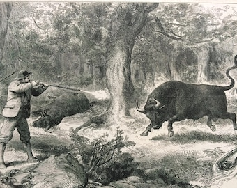 1877 Wild Bull Shooting in the Galapagos Islands Original Antique Engraved Newspaper Illustration, Hunting Decor, Victorian Wall Decor