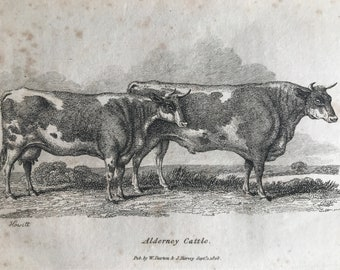 1809 Alderney Cattle Original Antique Engraving - Natural History - Cow - Cattle - Available Matted and Framed