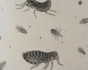 1819 Original Antique Engraving - Vintage Insect Art - Flea - Louse - Entomology - Available Matted and Framed