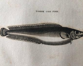 1812 Torsk Cod Fish Original Antique Engraving - Ichthyology - Fish Art - Fishing Cabin Decor - Available Framed