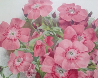 1900 Beautiful Large Original Antique Botanical Matted Lithograph - Dianthus Callinzonus - Gardening - Botany - Horticulture - Framed