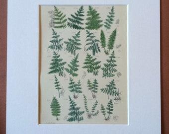1914 Original Antique Botanical Print - Mounted and Matted - Botany - Fern - Vintage Decor - Wild Flowers - Plant - Available Framed