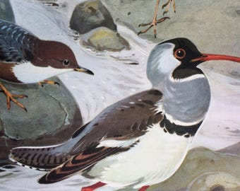 1968 Colourful Vintage Bird Print - Grey Wagtail - White-Throated Dipper - Ibisbill - Available Framed - 14 x 11 inches