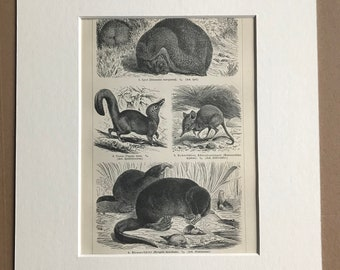 1897 Insectivore Animals Original Antique Print - Mounted and Matted - Shrew Hedgehog Wildlife - Animal Art - Available Framed
