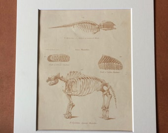 1862 Animal Skeletons Greenland Whale Elephant Mastodon Original Antique Hand Coloured Engraving - Available Mounted, Matted and Framed