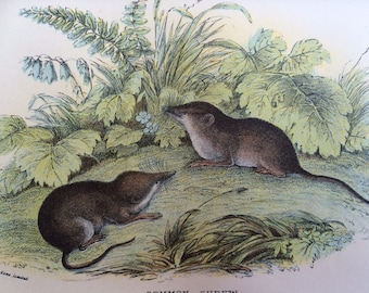 1896 Common Shrew Original Antique Matted Chromolithograph - Mammal - Zoology - Nature - Wildlife Wall Decor - Available Framed