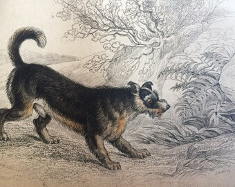 1860 Scotch Terrier - Original Antique Hand-Coloured Engraving - Matted and Available Framed - Dog Illustration - Canine Wall Decor